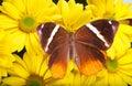 Jungle Glory Butterfly