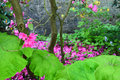 Jungle magenta blossoms of pink rhododendron falling down onto the ground Stock Images