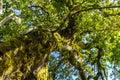 Jungle tree canopy Royalty Free Stock Photo