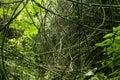 Jungle vines Royalty Free Stock Photo
