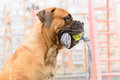 Junior bullmastiff dog plays with a toy Royalty Free Stock Image