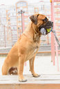 Junior bullmastiff dog plays with a toy Royalty Free Stock Photos