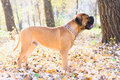 Junior bullmastiff dog standing in the park Stock Photos