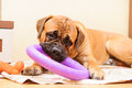 Junior puppy bullmastiff lying on a rug in the house months age dog playing toy puller Stock Image