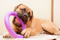 Junior puppy bullmastiff lying on a rug in the house months age dog playing toy puller Stock Images