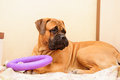 Junior puppy bullmastiff lying on a rug in the house months age dog playing toy puller Royalty Free Stock Photos