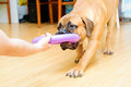 Junior puppy bullmastiff playing with a man with a toy training in the house months age Royalty Free Stock Photo