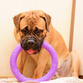 Junior puppy bullmastiff sitting on a rug in the house months age dog playing toy puller Royalty Free Stock Photo