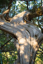 Juniper bark. Royalty Free Stock Photo