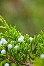 Juniper Berries Royalty Free Stock Images