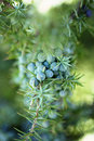 Juniper berries branch with close up Royalty Free Stock Image