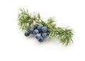 Juniper berries with green leaves Stock Photography