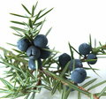 Juniper berries (juniperus communis). Royalty Free Stock Photos