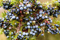 Juniper berries the mature purple of a clustered on a branch at fall Royalty Free Stock Image