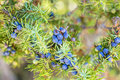 Juniper berries ripe at a bush Stock Photography