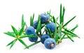 Juniper berry Royalty Free Stock Photo