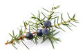 Juniper berry on a white background Stock Image