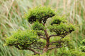 Juniper bonsai in a botanical garden beautiful Stock Photo
