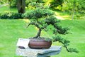 Juniper bonsai in japanese garden Royalty Free Stock Image