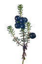 Juniper branch with berries isolated on white Royalty Free Stock Photo