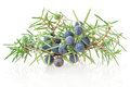 Juniper branch with berries on white background Stock Photos