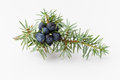 Juniper branch with berries on white background Stock Photography