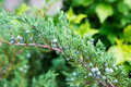 Juniper bush closeup of a Royalty Free Stock Images