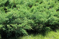 Juniper bushes in the garden Royalty Free Stock Image