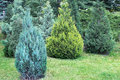 Juniper bushes in the garden Royalty Free Stock Photo