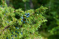 Juniper close up of green with black berries horizontal Stock Photography