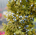 Juniper greens with berries for decoration blue Royalty Free Stock Photos
