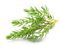 Juniper isolated on white background Stock Photography