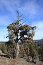 Juniper on overturf butte a twisted stands the summit of in bend oregon Stock Images