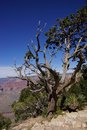 Juniper snag looking north over the grand canyon and colorado river at national park arizona Royalty Free Stock Photos