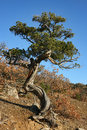 Juniper in sunny autumnal day on the hillside crimea Stock Image