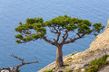 Juniper tree Royalty Free Stock Image