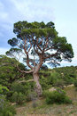 Juniper tree Stock Photography