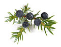 Juniper twig with berries Royalty Free Stock Photo
