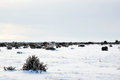 Junipers in plain winter landscape Royalty Free Stock Photo