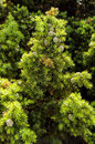 Juniperus drupacea (Syrian Juniper) Royalty Free Stock Image