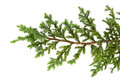 Juniperus horizontalis leaves or Creeping juniper leaves isolated on white background Royalty Free Stock Photo