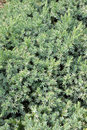 Juniperus squamata slow growing coniferous evergreen decorative shrub Stock Images