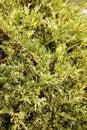 Juniperusen sabina nyanserade Royaltyfria Bilder