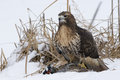 Just don t move a beautiful red tailed hawk with prey in talons Stock Photography