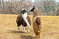 Just between llamas two standing near each other and seeming to be discussing something they are both looking at Stock Image