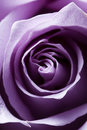 Just opened purple rose Royalty Free Stock Photos