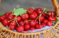 Just picked cherries wicker basket full of sweet Stock Photography