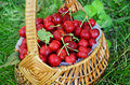 Just picked cherries wicker basket full of sweet in an european orchard Stock Photography