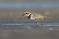 Juvanile little ringed plover charadrius dubius ukraine Stock Photography