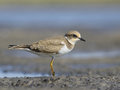 Juvanile little ringed plover charadrius dubius ukraine Royalty Free Stock Photo
